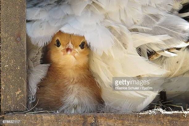 Portrait Of Baby Chicken Covered With Female Buff Orpington Chicken