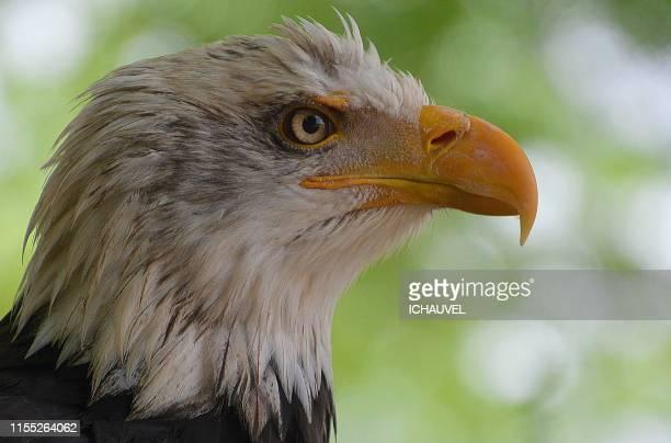 portrait of bald eagle - snavel stockfoto's en -beelden