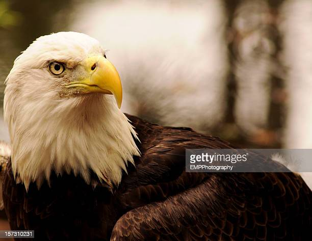 Portrait of Bald Eagle with a Regal Expression