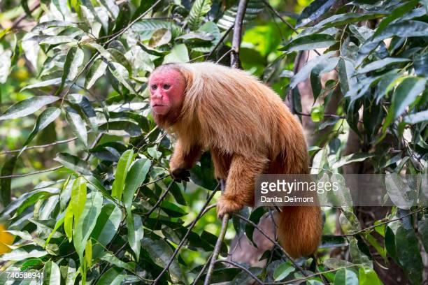 Portrait of bald uakari monkey (Cacajao calvus) sitting in tree, Amazon EcoPark Jungle Lodge, Manaus, Amazon, Brazil