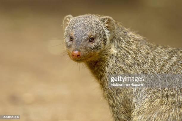 portrait of banded mongoose - mangusta foto e immagini stock