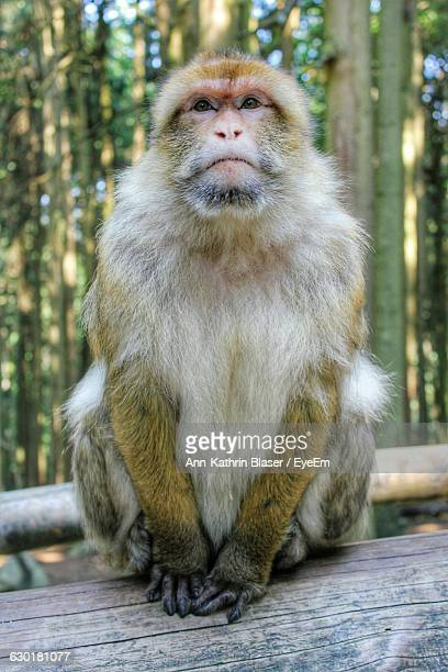 Portrait Of Barbary Macaque