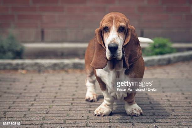 Portrait Of Basset Hound On Footpath