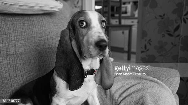 Portrait Of Basset Hound Relaxing On Sofa At Home