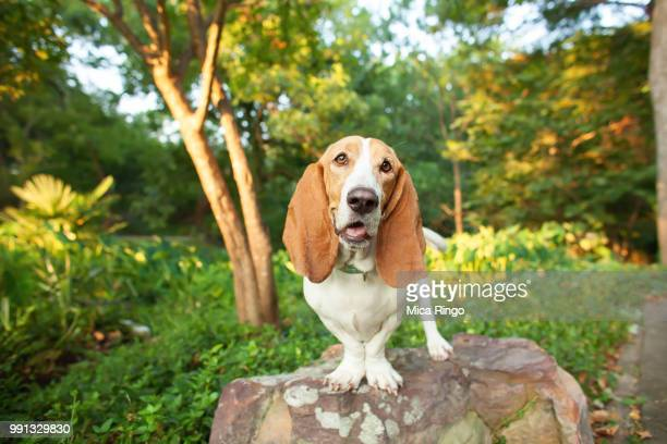 portrait of basset hound standing on rock - basset hound stock pictures, royalty-free photos & images