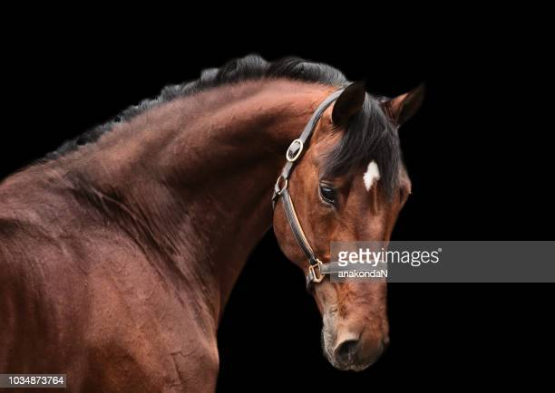 portrait of bay sportive horse at black background.