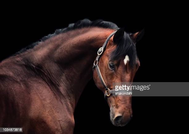 portrait of bay sportive horse at black background. - cheval photos et images de collection