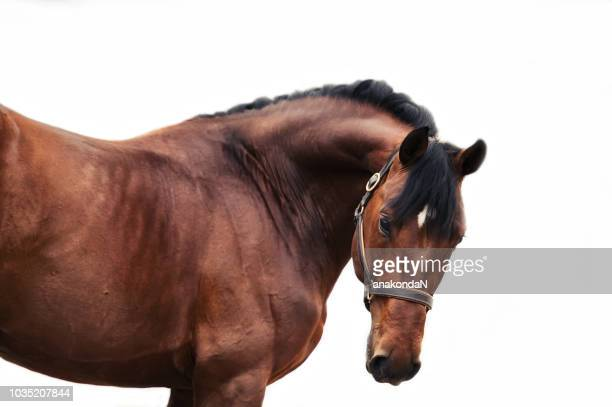 portrait of bay sportive horse at white background.