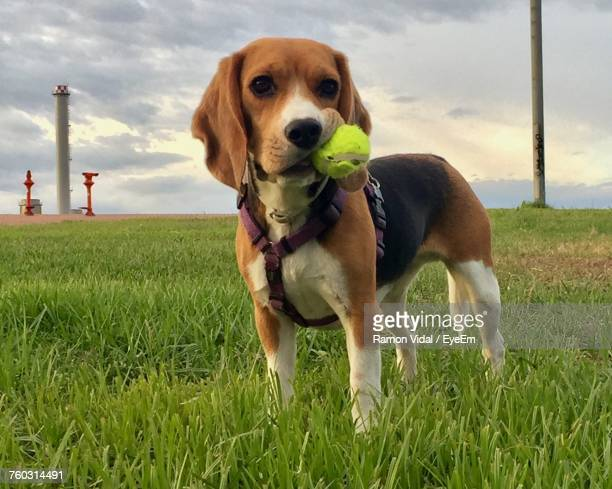 Portrait Of Beagle Carrying Tennis Ball On Mouth On Grassy Field Against Sky