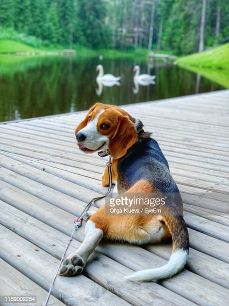 portrait of beagle relaxing by lake on boardwalk - ビーグル ストックフォトと画像