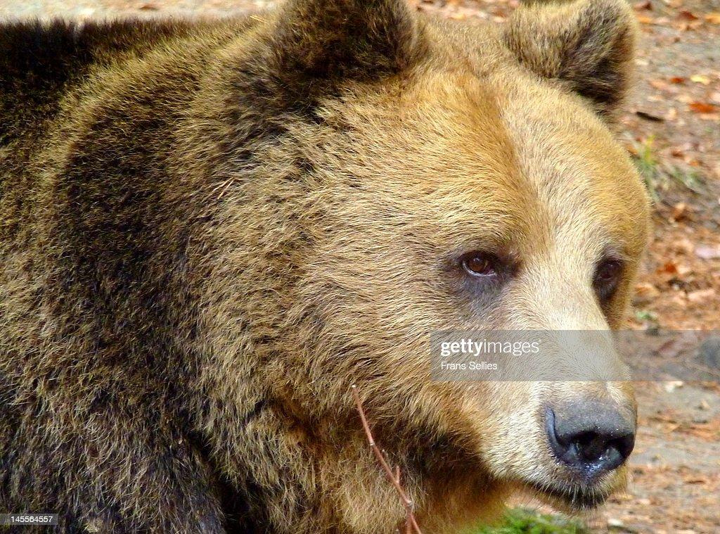 Portrait of Bear in Belitsa, Bulgaria : Stockfoto