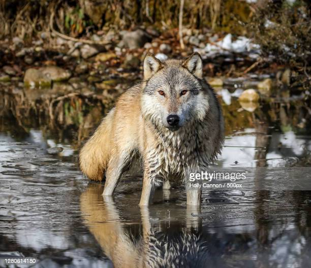 portrait of bear in lake - holly wolf stock pictures, royalty-free photos & images