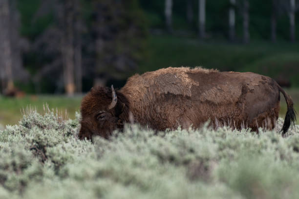 Portrait of bear standing on field,Lamar River,Wyoming,United States,USA