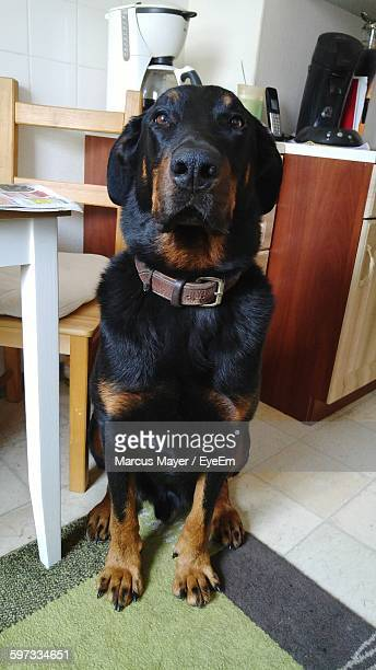 Portrait Of Beauceron At Home