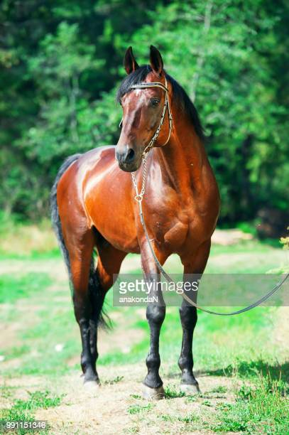 portrait of  beautiful bay breed stallion at forest background - bay horse stock photos and pictures