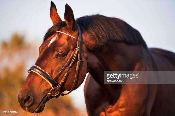portrait of  beautiful bay breed stallion  in beautiful brown bridle - thoroughbred horse - fotografias e filmes do acervo