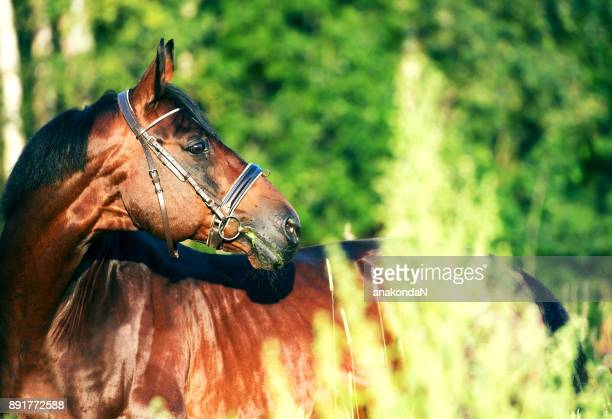 portrait of beautiful  bay  sportive  stallion - bay horse stock photos and pictures