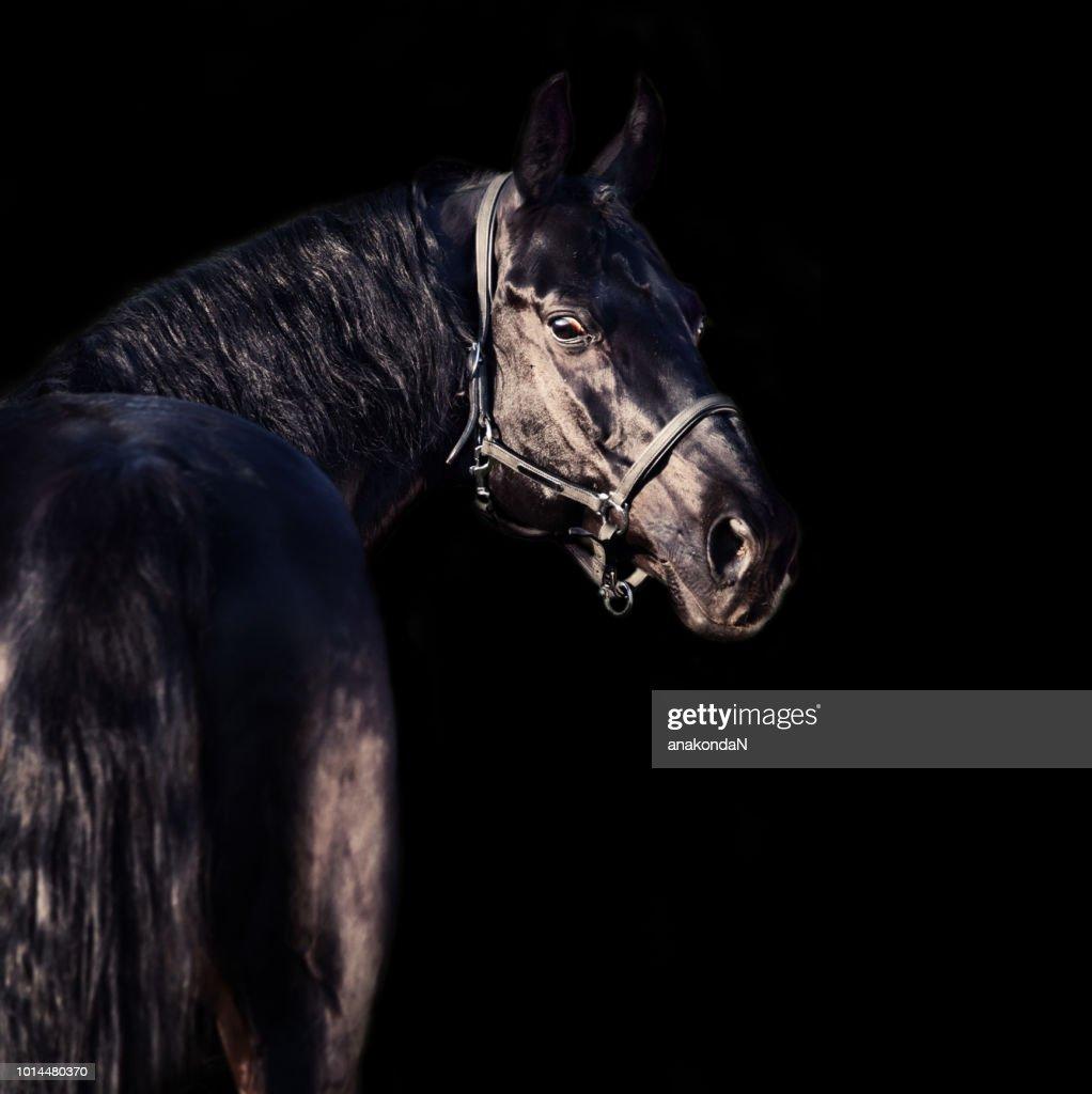 portrait of beautiful black breed stallion at black background : Stock Photo