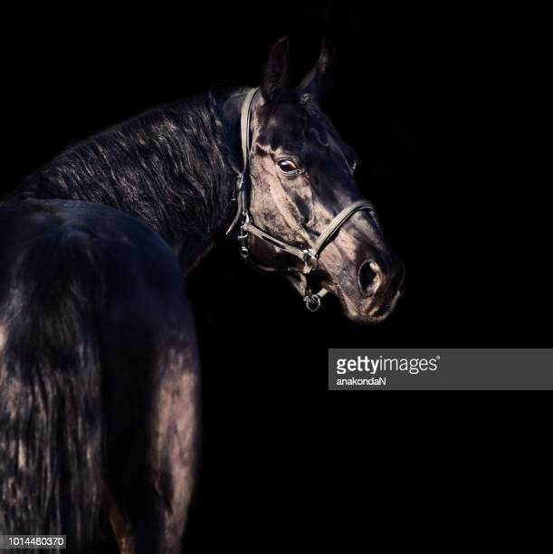 portrait of beautiful black breed stallion at black background - thoroughbred horse - fotografias e filmes do acervo