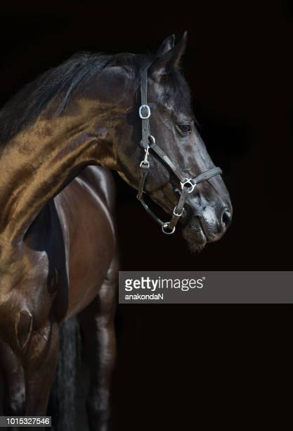 portrait of  beautiful black breed stallion at black background - dressage horse russia stock photos and pictures