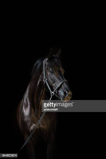 portrait of  beautiful black breed stallion at black background - restraint muzzle stock photos and pictures