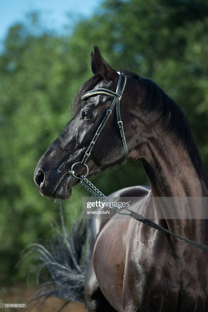 Portrait Of Beautiful Black Horse At Field Background High Res Stock Photo Getty Images