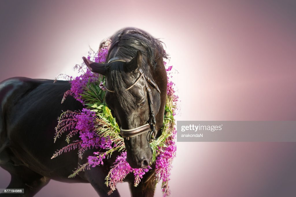 Portrait Of Beautiful Black Horse With Flower Wreath At Lilac Gradient Background Foto De Stock Getty Images