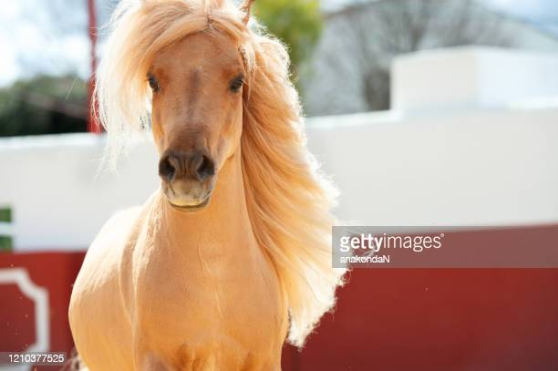 portrait of beautiful chestnut pony with long mane in motion. andalisia, spain - animal markings stock pictures, royalty-free photos & images