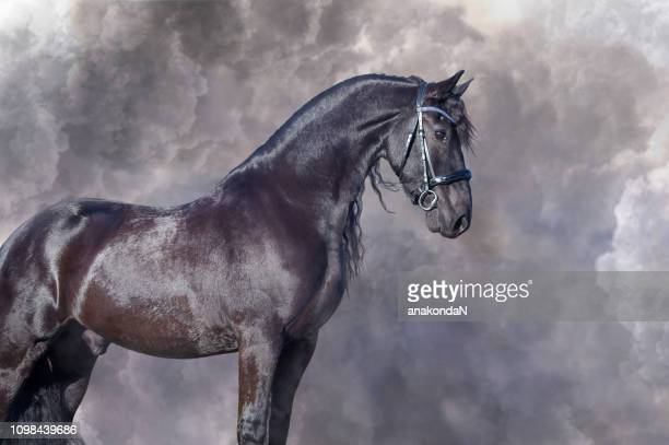 portrait of beautiful frisian horse posing against clouds - dressage horse russia stock photos and pictures