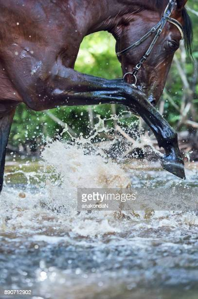 portrait of beautiful  horse in the river - bay horse stock photos and pictures