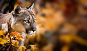 Portrait of Beautiful Puma in autumn forest. American cougar - mountain lion