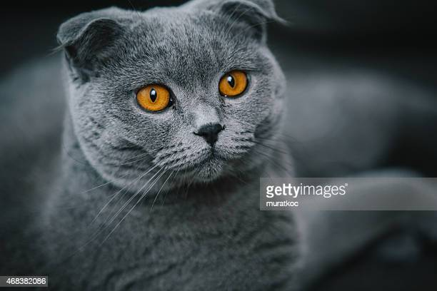 Portrait of Beautiful Scottish Fold Cat