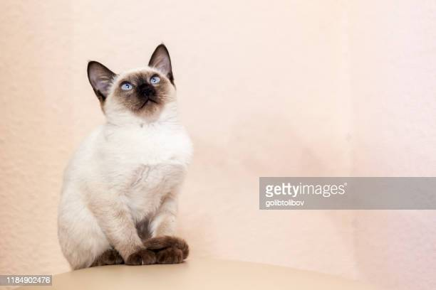 portrait beautiful siamese cat cute siamese