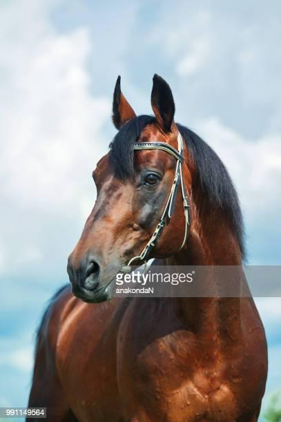 portrait of  beautiful stallion against  sky background - thoroughbred horse - fotografias e filmes do acervo