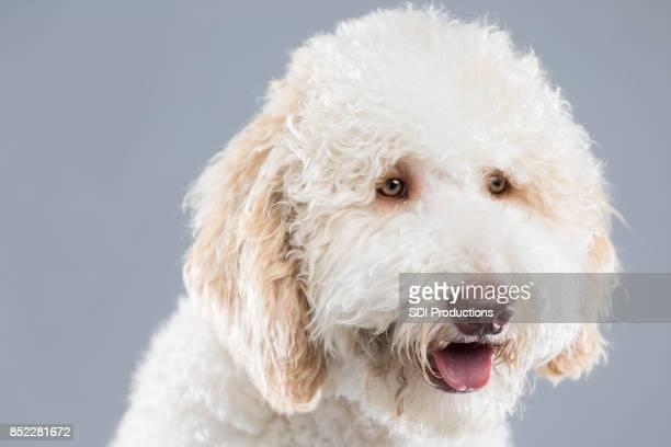 Portrait of beautiful white fluffy dog