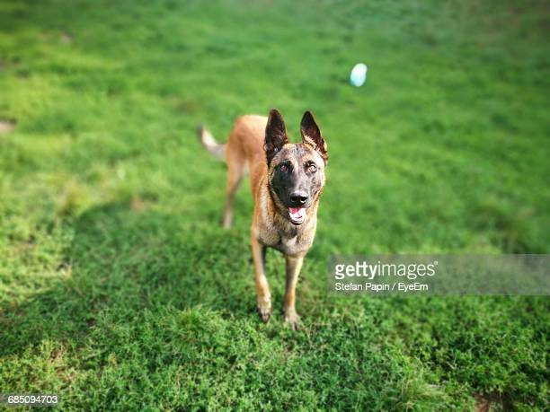 portrait of belgian malinois on grass at back yard - belgian malinois stock photos and pictures