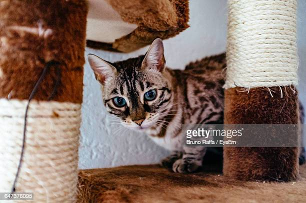 Portrait Of Bengal Cat On Scratching Post