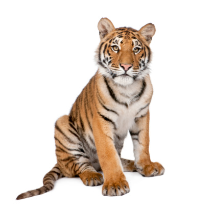 Portrait of Bengal Tiger, 1 year old, sitting, studio shot 92703581