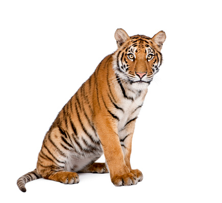 Portrait of Bengal Tiger, Panthera tigris tigris, 1 year old, sitting in front of white background, studio shot 877333342