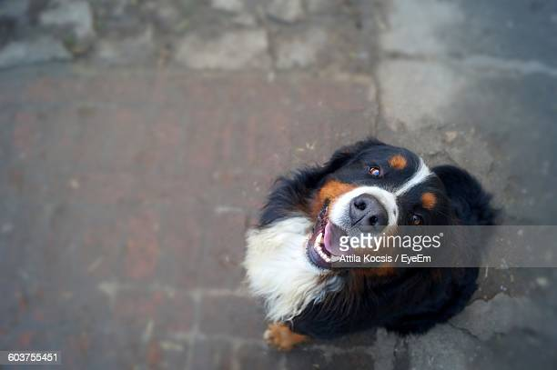 Portrait Of Bernese Mountain Dog On Footpath