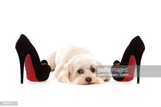portrait of bichon frise relaxing by high heels on white background - stiletto stock pictures, royalty-free photos & images