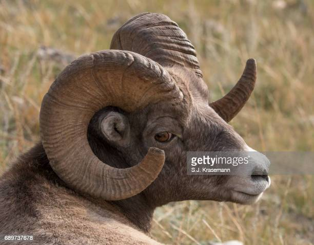 portrait of bighorn ram sheep. - ram animal stock photos and pictures
