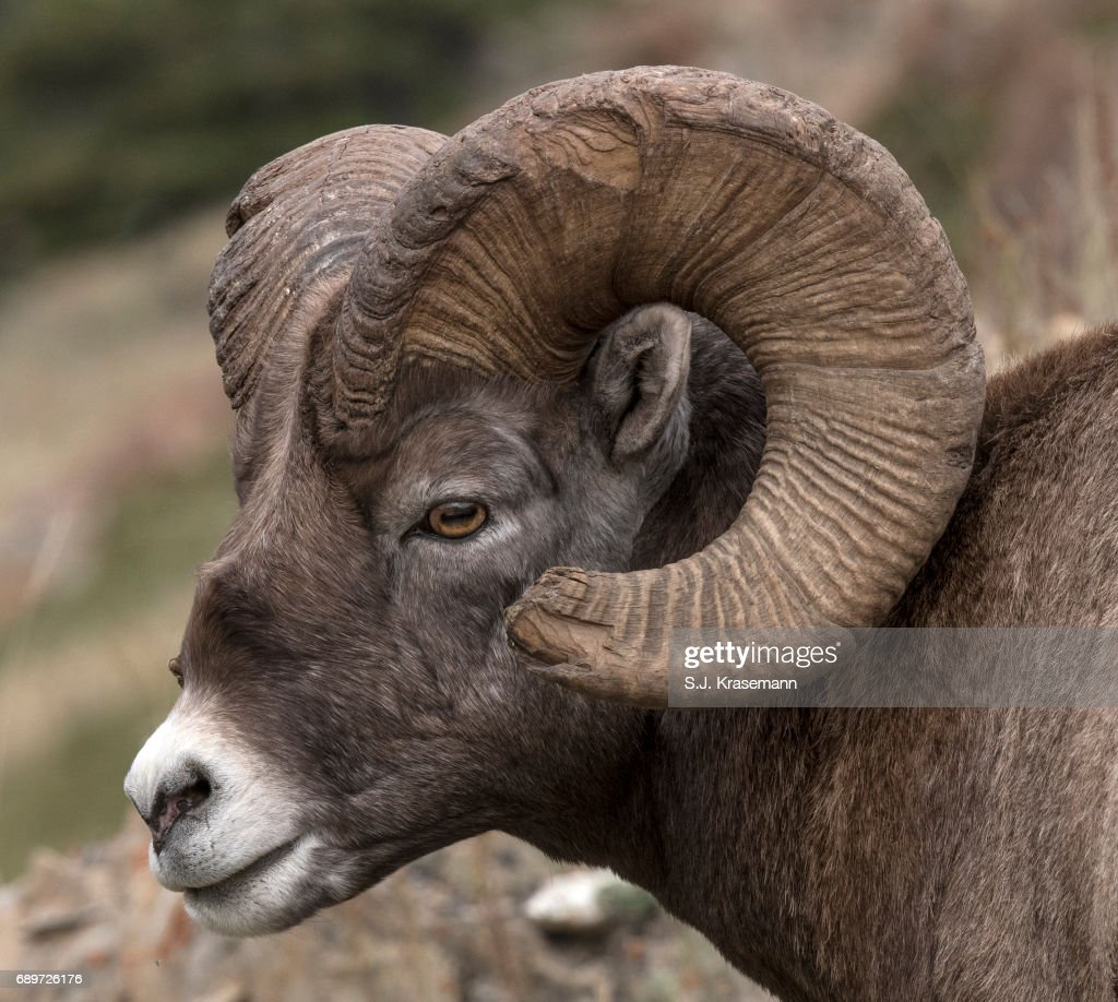 Portrait of Bighorn Ram with broomed end of horn. : Stock Photo