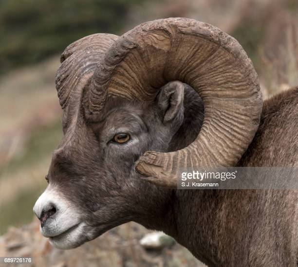 portrait of bighorn ram with broomed end of horn. - ram animal stock photos and pictures