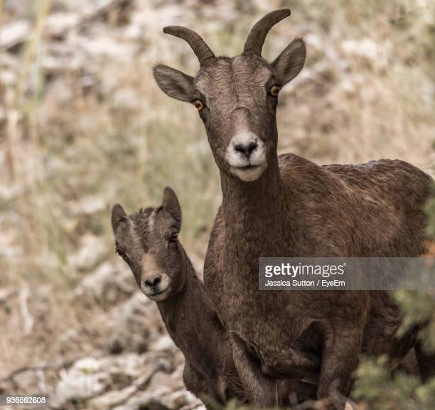 Portrait Of Bighorn Sheep Standing On Field