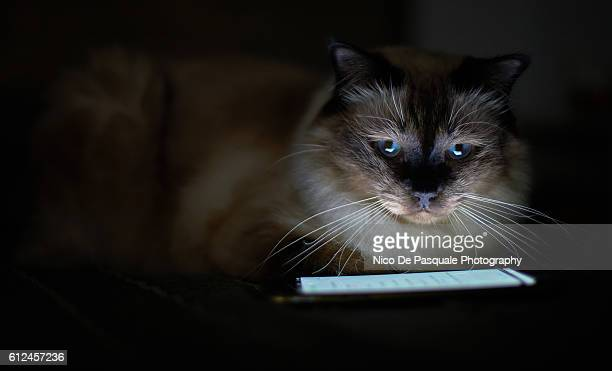portrait of birman cat - male feet on face stock photos and pictures