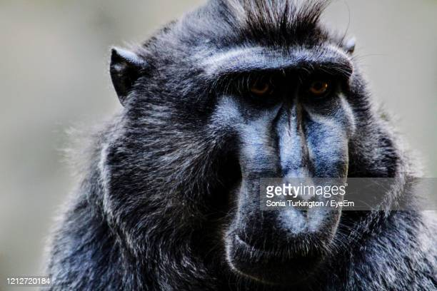 portrait of black baboon in zoo - chester zoo stock pictures, royalty-free photos & images