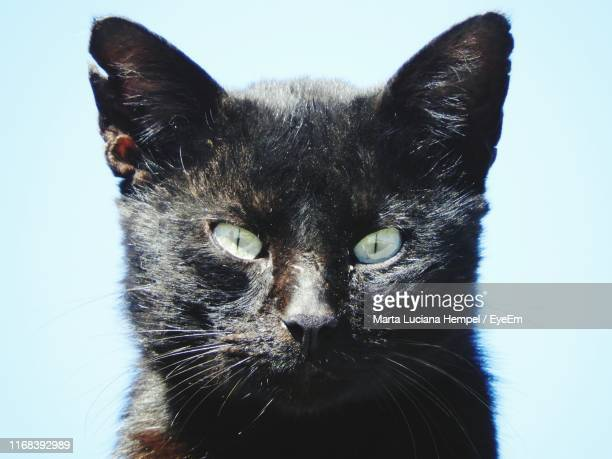 portrait of black cat against white background - black siamese cat stock pictures, royalty-free photos & images
