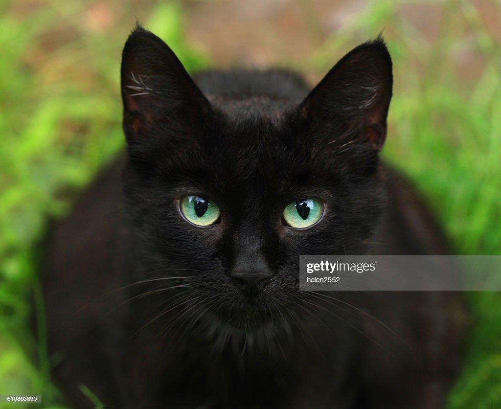 portrait of black cat : Stock Photo