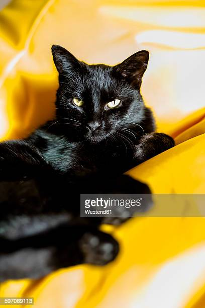 Portrait of black cat relaxing